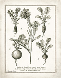 French Radishes Prints by Babbitt Gwendolyn