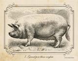 Farm Pig II Prints by Gwendolyn Babbitt