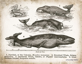 Antique Whales II Prints by Babbitt Gwendolyn