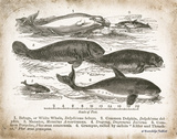 Antique Whales I Print by Babbitt Gwendolyn