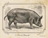 Farm Pig I Prints by Babbitt Gwendolyn
