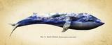 Blue Whale Prints by Alan Hausenflock
