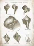 Vintage Shells II Posters by Gwendolyn Babbitt