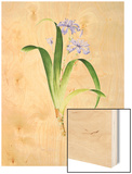 Iris Fimbriata Wood Print by Pierre-Joseph Redoute