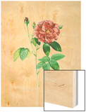 Rosa Gallica Officinalis Wood Print by Pierre-Joseph Redoute