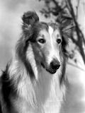 Lassie Portrait Photo by  Movie Star News