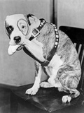 Our Gang Dog Seated in Classic Foto af  Movie Star News