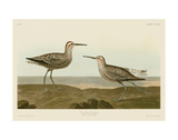 Long-Legged Sandpiper Plakater af John James Audubon