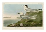 Havell's Tern & Trudeau's Tern Lámina giclée por John James Audubon