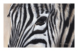 Zebra Eyes Giclée-tryk af Sarah Stribbling