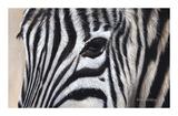 Zebra Eyes Wydruk giclee autor Sarah Stribbling