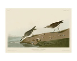 Semipalmated Sandpiper Prints by John James Audubon