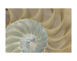 Soft Nautilus Print by  Sparx Studio