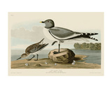 Fork-Tailed Gull Poster von John James Audubon
