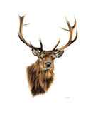 Stag White Background Art by Sarah Stribbling