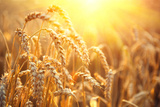 Golden Wheat Field. Ears of Wheat close Up. Beautiful Nature Sunset Landscape. Rural Scenery under Photographic Print by Subbotina Anna