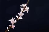 Cherry Blossom Sakura Isolated Black Background Papier Photo par  crystalfoto