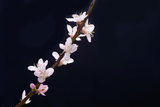 Cherry Blossom Sakura Isolated Black Background Fotodruck von  crystalfoto