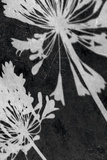 Allium Shadow Giclee Print by Ella Lancaster