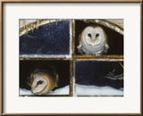 Barn Owls Looking out of a Barn Window Germany Framed Photographic Print by Dietmar Nill