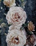 Rose Dream I Giclee Print by  Collezione Botanica