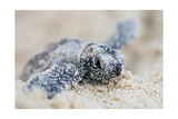 Hawksbill Turtle Hatching Poster van  Lantern Press