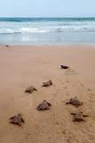 Sea Turtles Hatching Plakater af  Lantern Press
