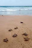 Sea Turtles Hatching Prints by  Lantern Press