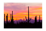 Sunset and Cactus Photograph Posters by  Lantern Press