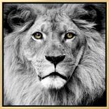 Lion Framed Canvas Print
