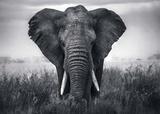 Elephant/Elefanten Poster von  Braun Studio