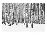 Birch forest in winter Poster von  Anonymous