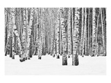 Birch forest in winter Posters by  Anonymous