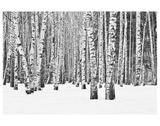 Anonymous - Birch forest in winter - Birinci Sınıf Giclee Baskı