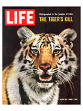 LIFE The Tiger's Kill 1965 Print by  Anonymous