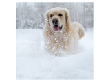 Golden Retreiver in Winter Snow Prints by  Anonymous