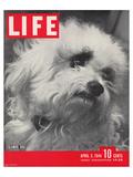 LIFE Glamour Dog Pooch 1944 Láminas por  Anonymous