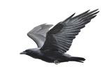 Raven Prints by Todd Telander