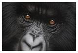 Eyes of Virunga: Mountain Gorilla Prints by Charles Alexander