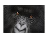 Eyes of Virunga: Mountain Gorilla Poster af Charles Alexander