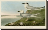Havell's Tern & Trudeau's Tern Stretched Canvas Print by John James Audubon