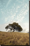 Oak Tree 12 Stretched Canvas Print by Alan Blaustein