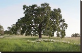 Oak Tree 93 Stretched Canvas Print by Alan Blaustein