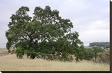 Oak Tree 107 Stretched Canvas Print by Alan Blaustein