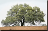 Oak Tree 72 Stretched Canvas Print by Alan Blaustein