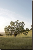 Oak Tree 87 Stretched Canvas Print by Alan Blaustein