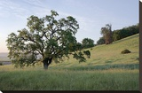 Oak Tree 86 Stretched Canvas Print by Alan Blaustein