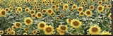Tuscan Sunflower Pano 1 Stretched Canvas Print by Alan Blaustein