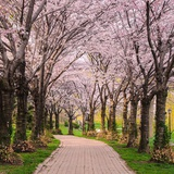 Cherry Blossom Trail Prints by Chuck Burdick
