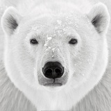 Polar Bear Prints by  PhotoINC Studio